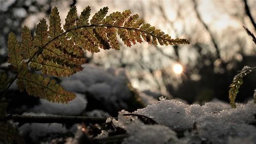 winter snow ice fern sunset local park meanwood west yorkshire inexplore