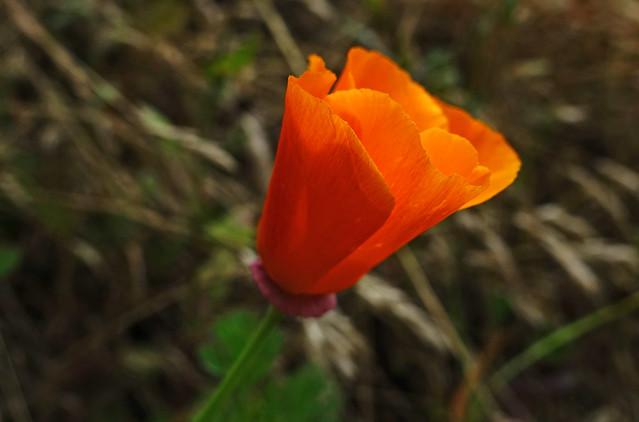 Eschscholzia californica aka California Poppy at Buena Vista Park in Haight-Ashbury in San Francisco, CA