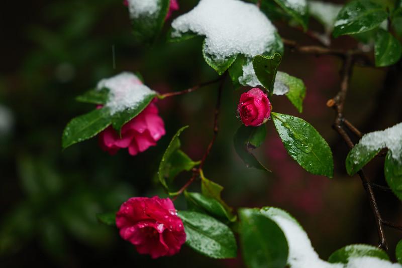 Snow camellia.