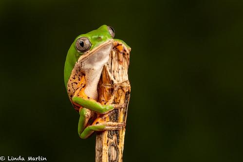 Tiger Legged Frog