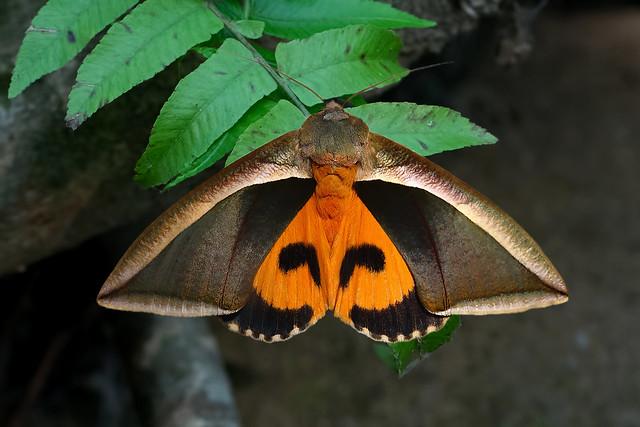 Eudocima salaminia - the Fruit Piercing Moth
