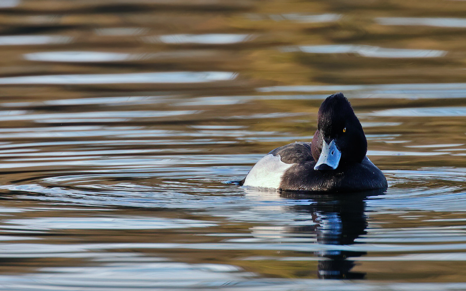 Tufted Duck - drake