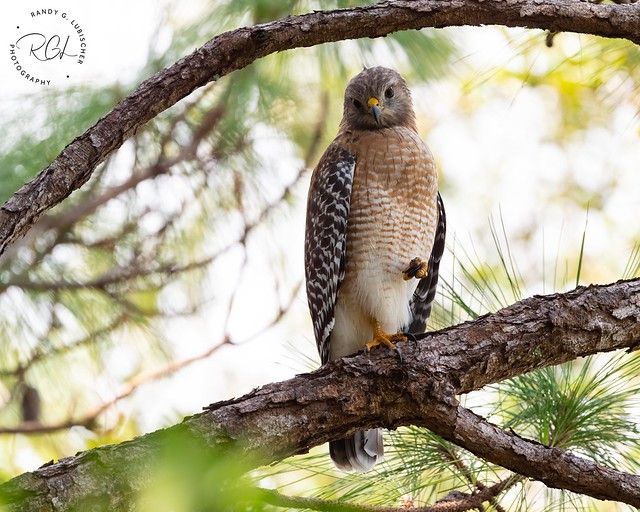 Red-shouldered Hawk | Buteo lineatus | 2020 - 5