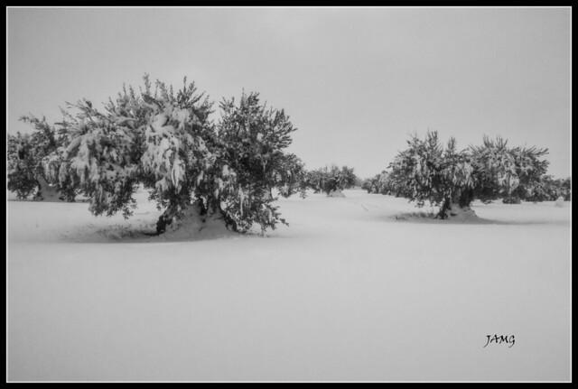 Olivos blancos (Canon G5XM2)