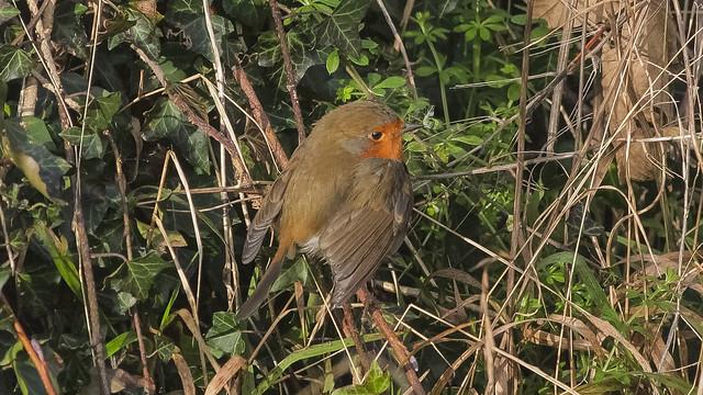 Winter robin Kent