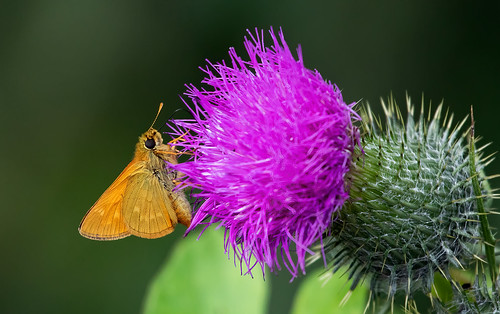Butterfly on a thistle flower | by K-PIXEL-N