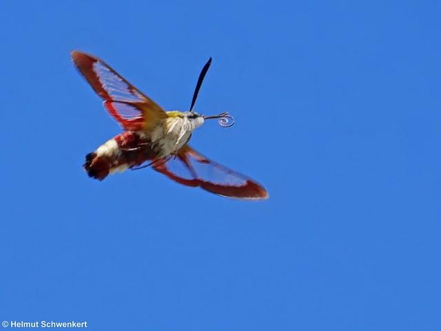 Hummelschwärmer  (Hemaris fuciformis) Bild2