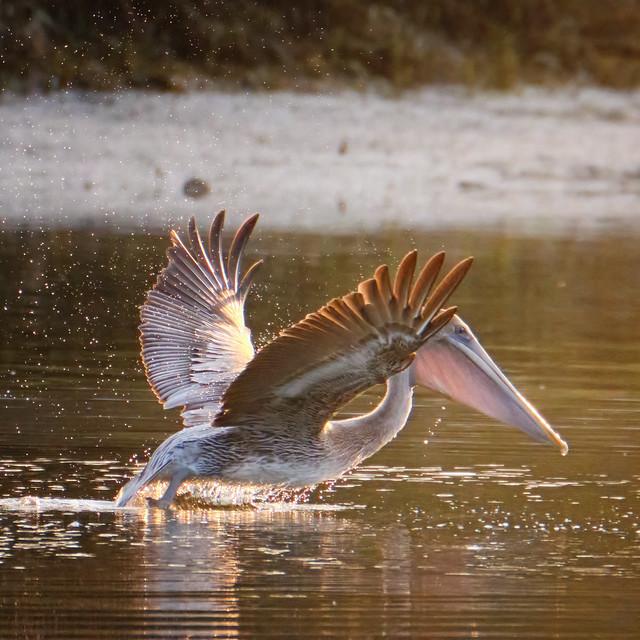 Translucent Beak