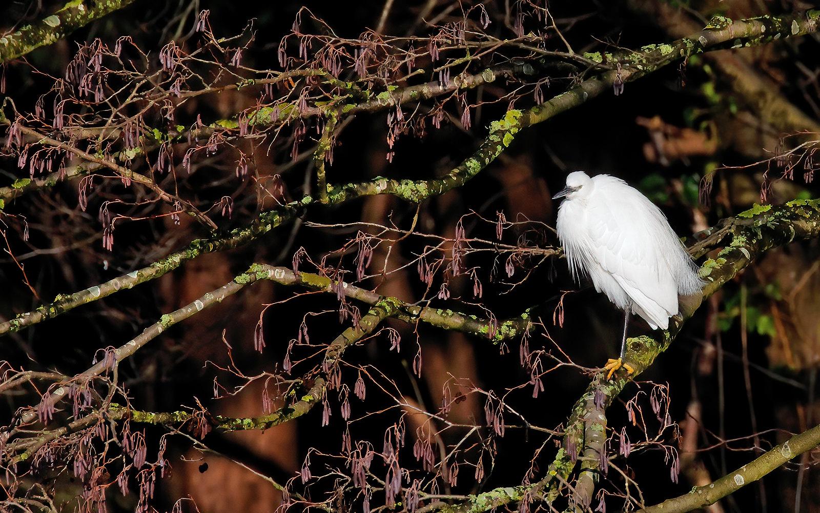Little Egret - adult