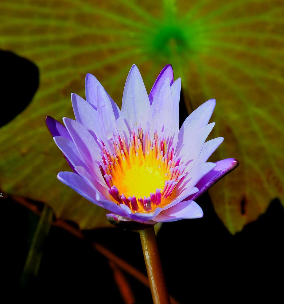 Hawaiin Flora - Kauai Hawaii, Water lily