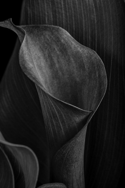 Calla Lily In B And W
