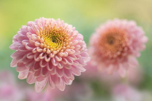 chrysanthemum 7377