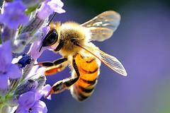 Son tornate le api