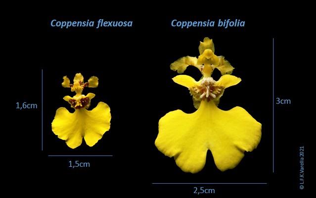 comparação flores C flexuosa e C bifolia - 1