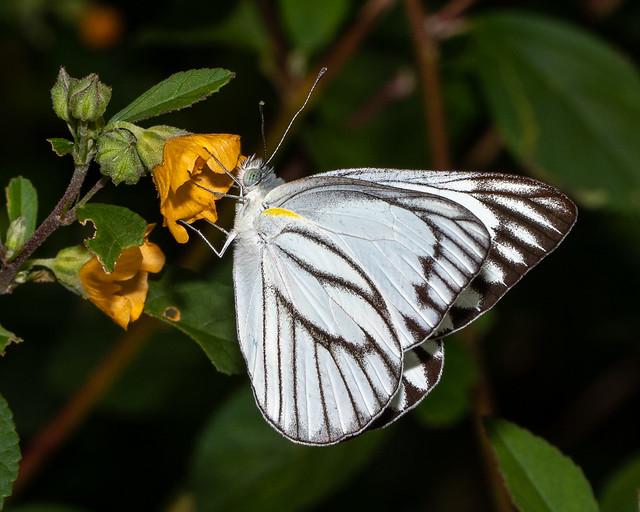 A Striped Albatross butterfly