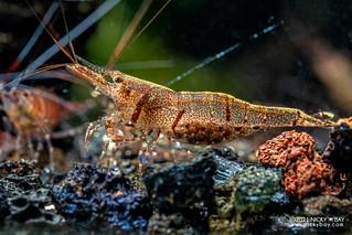 Six Banded Sulawesi Shrimp (Caridina holthuisi) - P1122148
