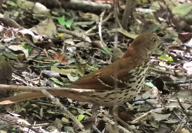 Crap pictures of LIFE BIRDS:  Brown Thrasher!