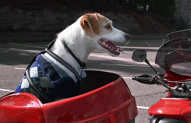 Sam, the biker dog