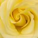Pale Yellow Rose (II), 4.26.17