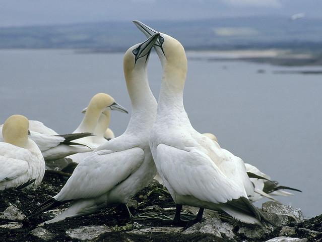Gannets - Scotland