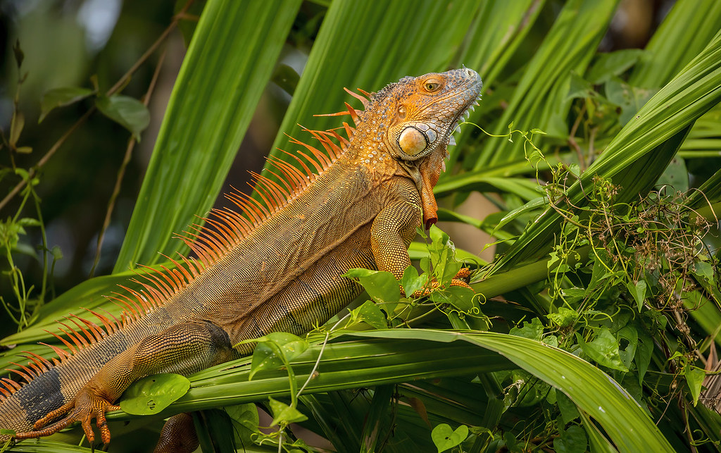 American iguana / Green iguana (Iguana iguana)