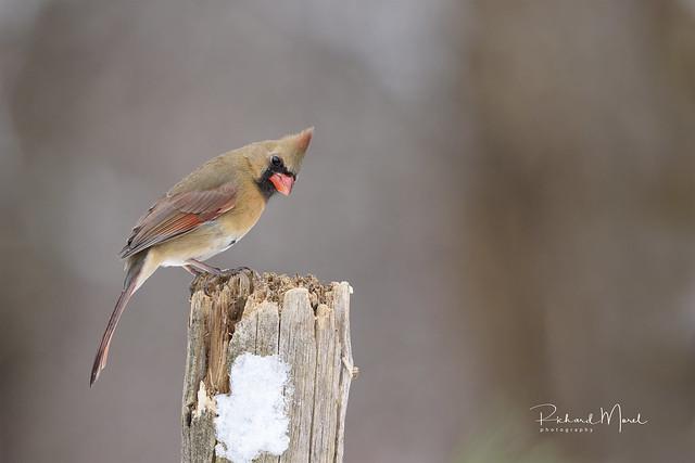 Cardinal / Northern Cardinal