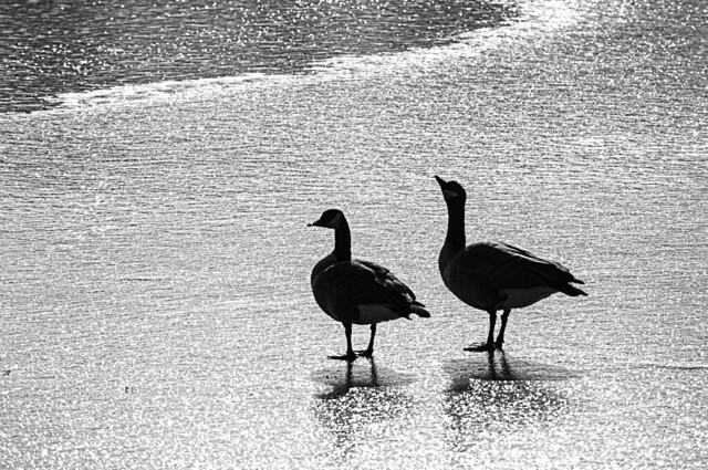 Geese Standing on Lake Ice