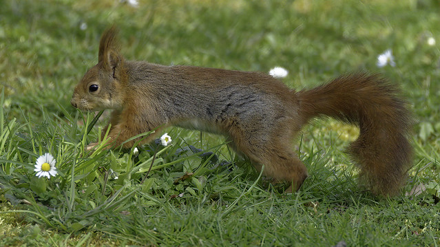 a Red Squirrel running / jumping