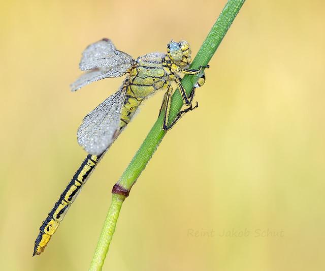 Plasrombout - Western Clubtail - Gomphus pulchellus