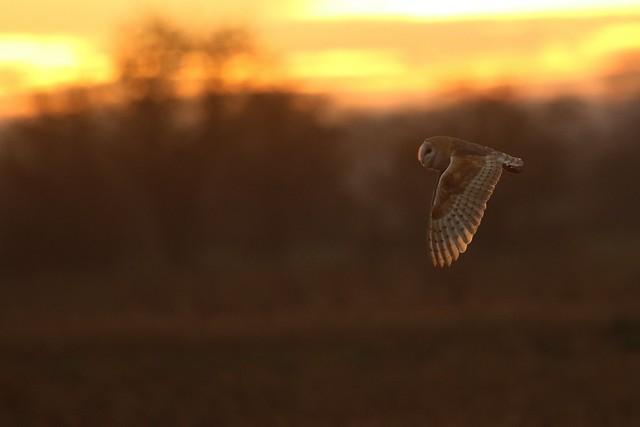 Barn Owl (Tyto Alba)  Wild Bird  Romney Marsh