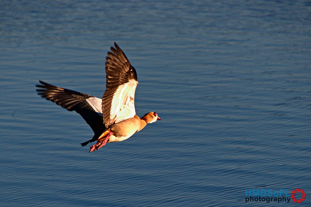 Egyptian goose flying over lake in the late afternoon