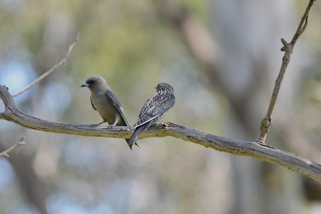 Dusky Woodswallows ( one on one time )
