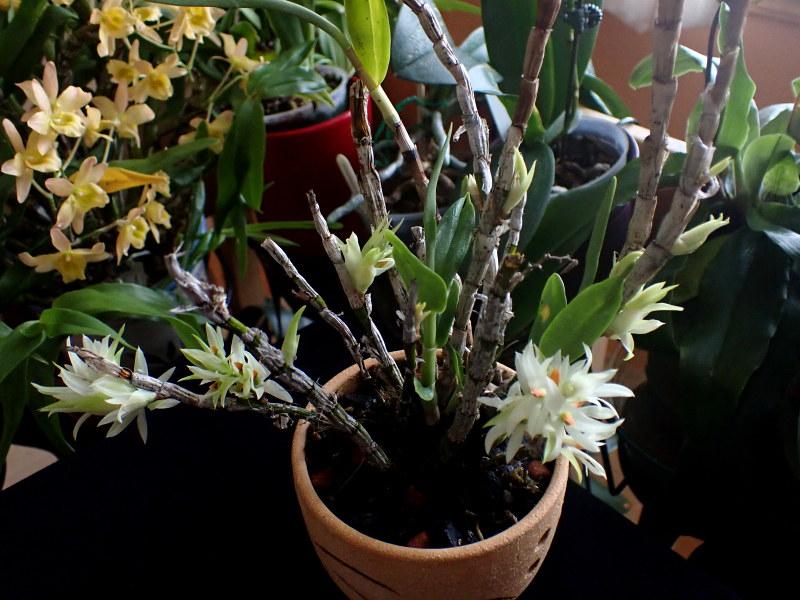 Dendrobium_bracteosum_20210113_3