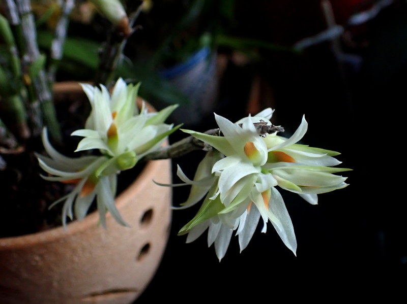 Dendrobium_bracteosum_20210113_2