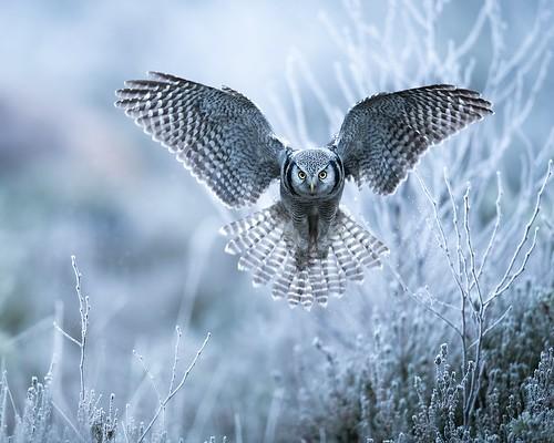hoarfrost angel