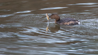 A Pied-billed Grebe With A Caught Minnow In Its Beak | by brucefinocchio