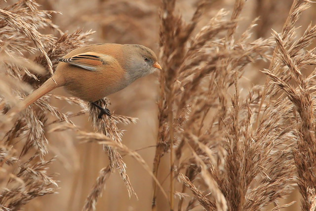 Female Bearded TIt at Hook and Warsash Nature Reserve