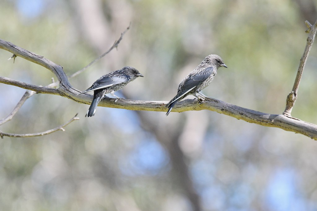 Dusky Woodswallows ( Juv. )