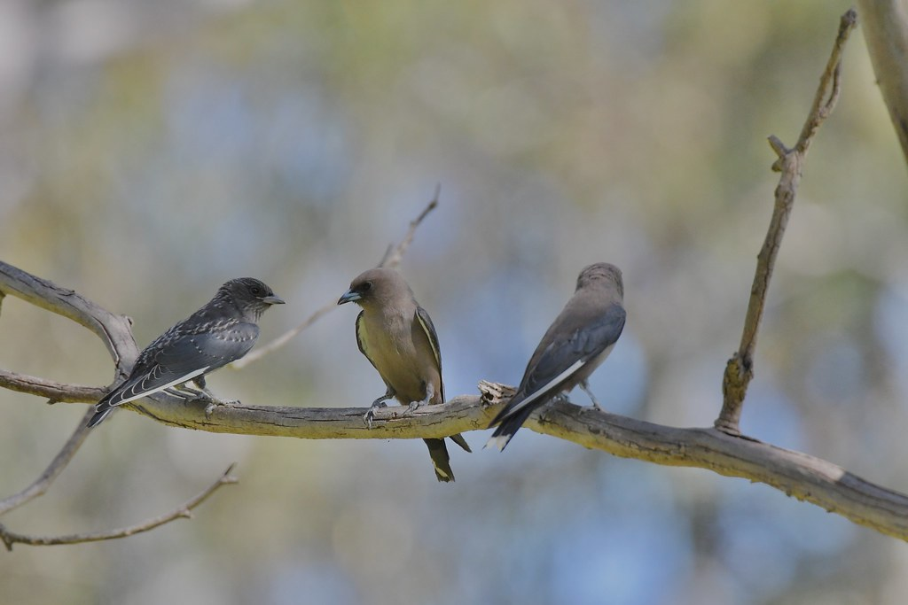 Dusky Woodswallows ( family time )