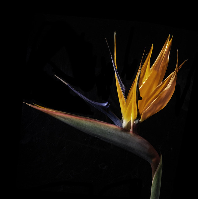 Rainbow Hues In A Bird Of Paradise Flower