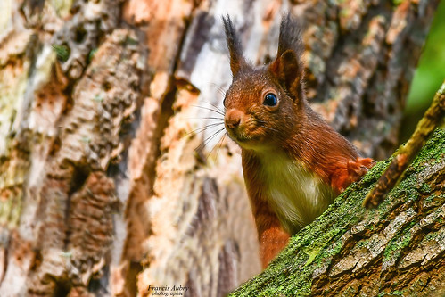 """Explore"" Ecureuil roux (Sciurius vulgaris) Red Squirrel 