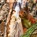 """""""Explore"""" Ecureuil roux (Sciurius vulgaris) Red Squirrel"""
