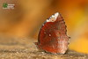 The Common Palmfly ♂ - หนอนมะพร้าวธรรมดา