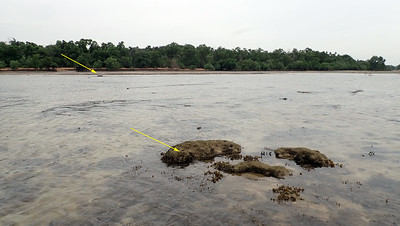 Seagrasses missing at Pulau Semakau (West)