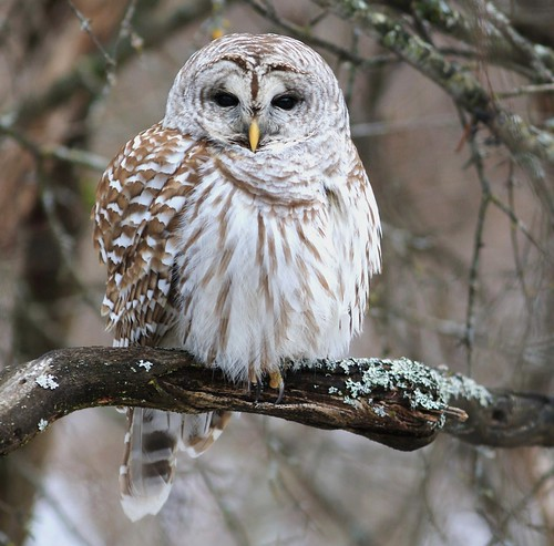 Barred owl / Chouette rayée ( Richard )