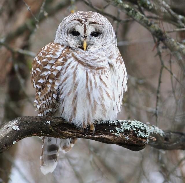 Barred owl / Chouette rayée ( Richard )