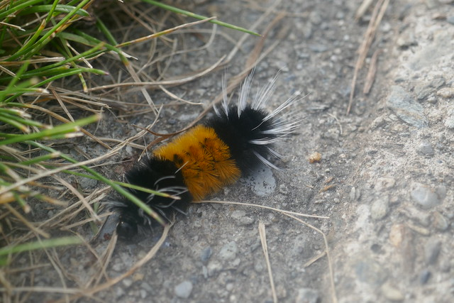 Mont Robson PP - chenille