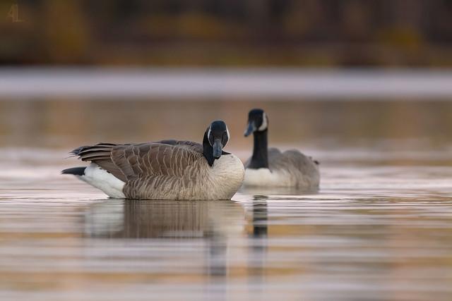 Bernache du Canada // Canada Goose