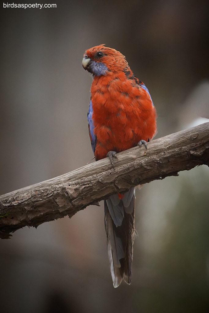 Crimson Rosella: Meet and Greet