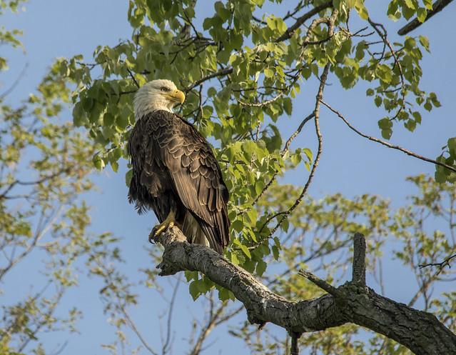Bald Eagle.....